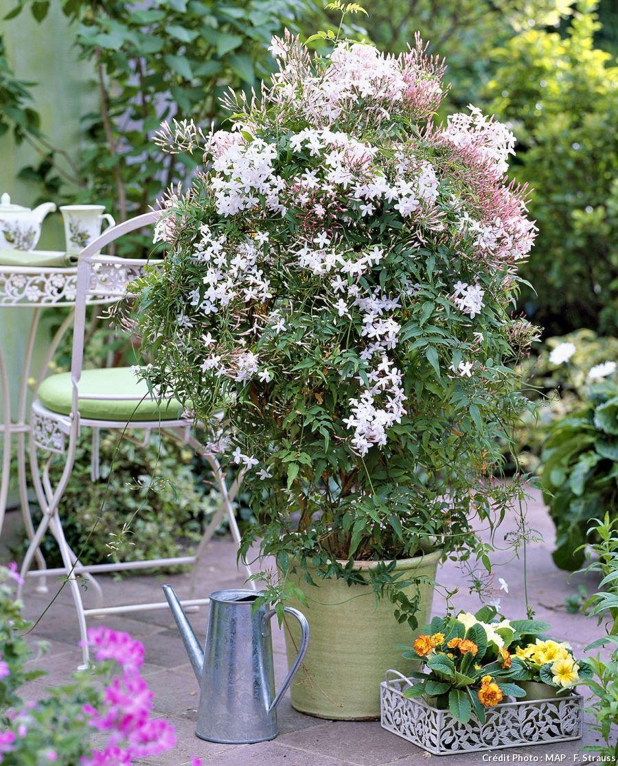 vrai faux tout savoir sur le jasmin jasmin en fleur et pots. Black Bedroom Furniture Sets. Home Design Ideas