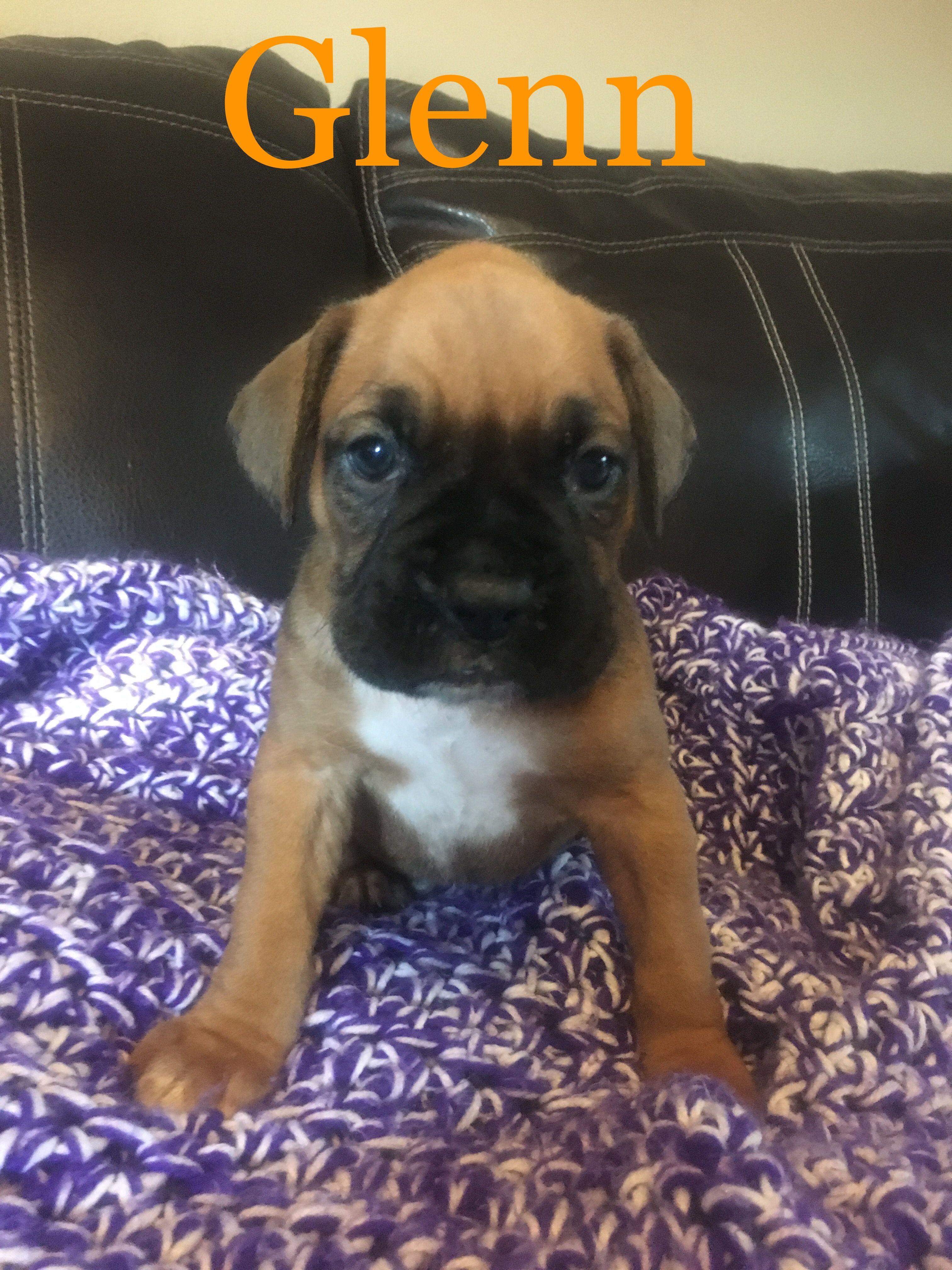 Male Boxer Puppy - Goldenacresdogs com