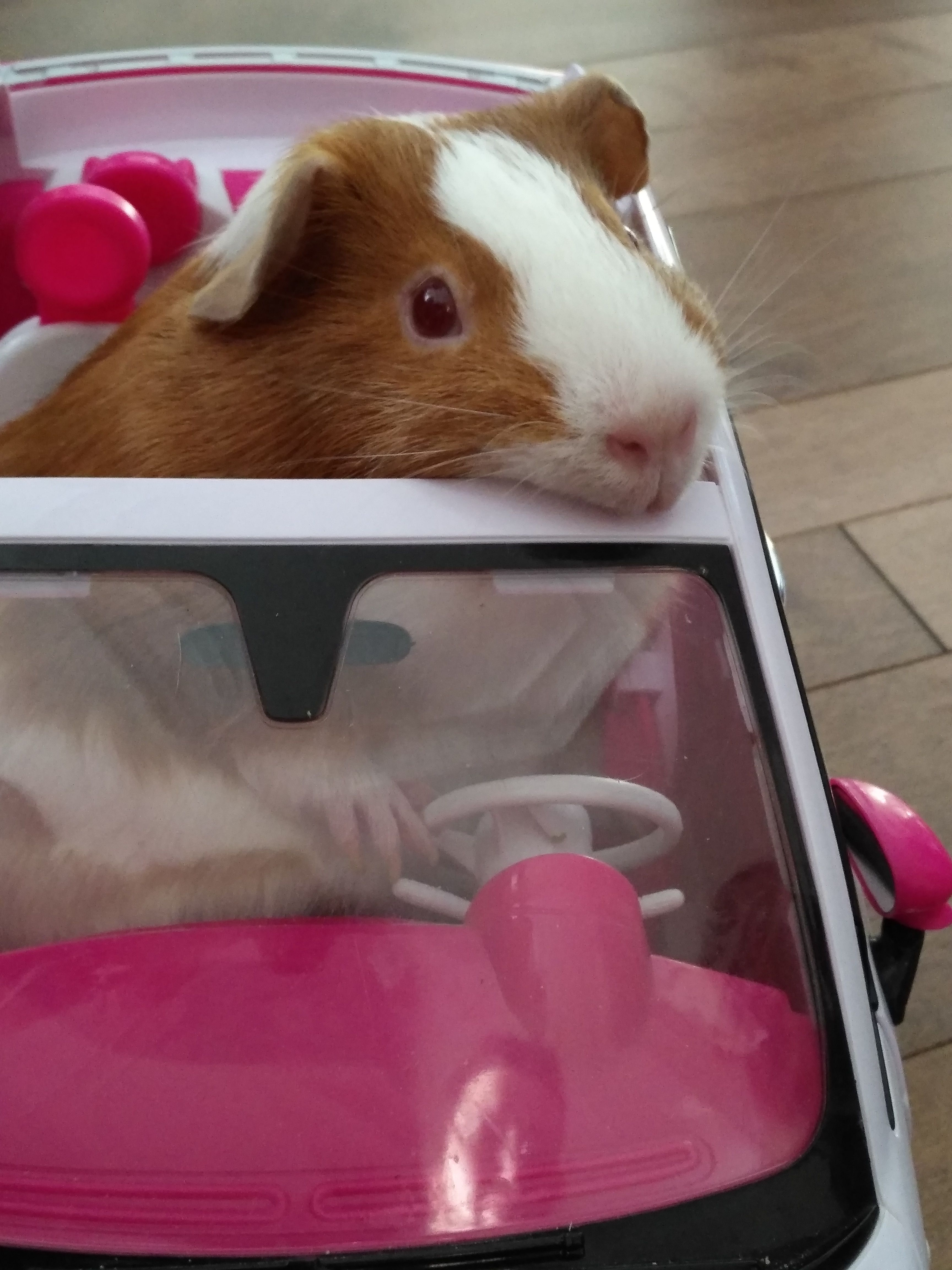 My pet guinea pig she thicc and she drive a barbie car #aww #cute #animals #cats #dogs #barbiecars My pet guinea pig she thicc and she drive a barbie car #aww #cute #animals #cats #dogs #barbiecars My pet guinea pig she thicc and she drive a barbie car #aww #cute #animals #cats #dogs #barbiecars My pet guinea pig she thicc and she drive a barbie car #aww #cute #animals #cats #dogs #barbiecars