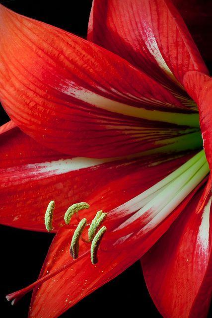 Amaryllis pinterest fleur les fleurs et rouge for Les fleurs amaryllis