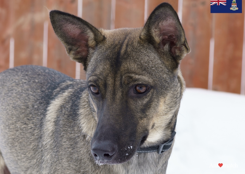 Axel A Male Belgian Malinois X Available For Adoption Animatch Ca In 2020 With Images Malinois Belgian Malinois Dog Adoption