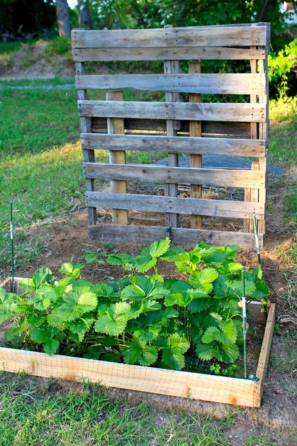 Strawberry patch pallet trellis best strawberry patch for Flower beds out of pallets