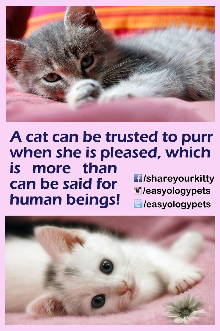 A Cat Can Be Trusted To Purr When She Is Pleased Which Is More Than Can Be Said For Human Beings Cute Baby Animals Purebred Cats Cats Kittens