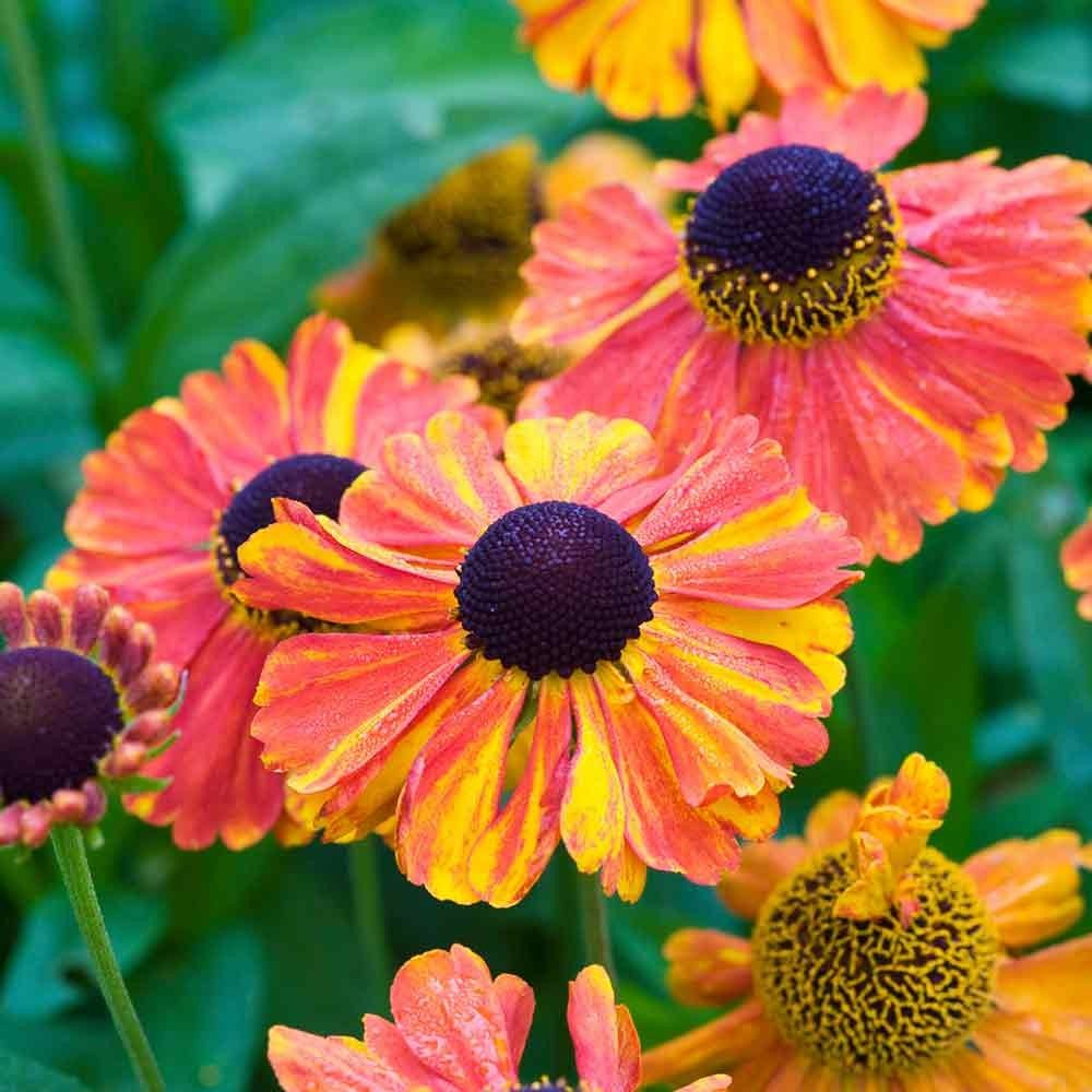 Helenium sahins early helenium sahins early is a tall daisy like helenium sahins early helenium sahins early is a tall daisy like perennial whose fiery orange and yellow petals contrast dramatically with its striking izmirmasajfo