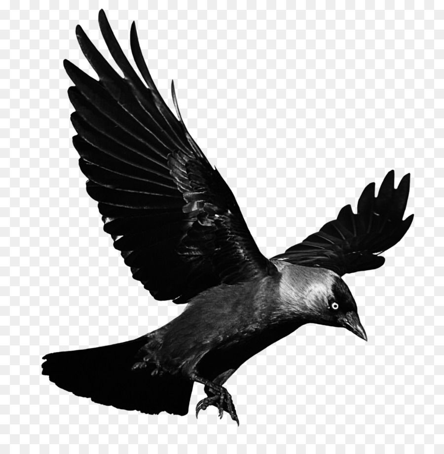 Crows Flight Clip Art Raven Flying Transparent Background Png Is About Is About Crow Like Bird Wildlife Eagle Mo Crow Images Raven Flying Crow Photography