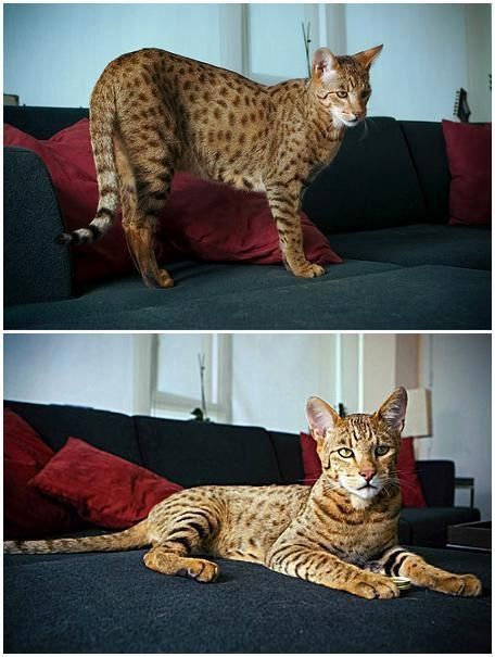the most expensive cat in the world ashera breed - Biggest House Cat In The World 2013