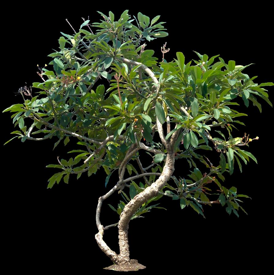 Plumeria05l Png 895 900 Plumeria Tree Plants Plant Pictures
