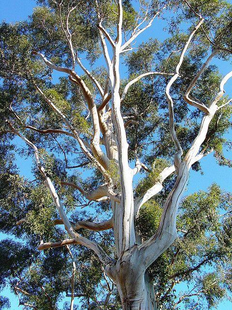 Eucalyptus Tree Claremont California Eucalyptus Tree Landscape