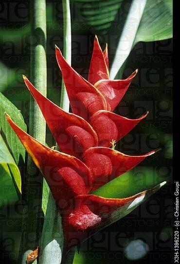 Fleur de Balisier Heliconia Jardin de Balata Ile de la Martinique Departement et Region dOutremer...