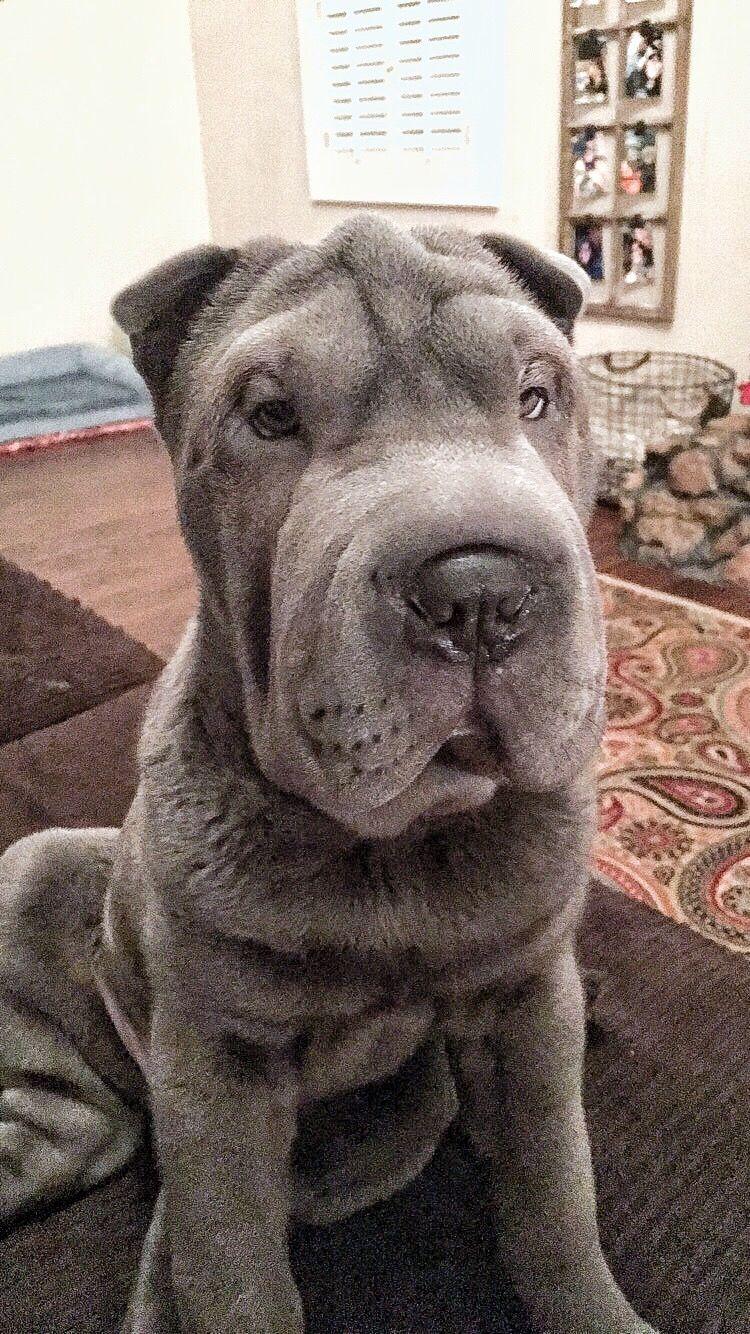Sassypei Aspen Follow My Insta Sharpei Puppy Dogs Dogclothes