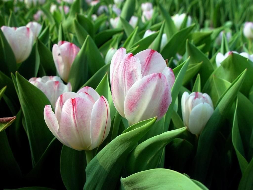 Pink white tulips 3 gardening ideas pinterest white pink white tulips 3 dhlflorist Image collections