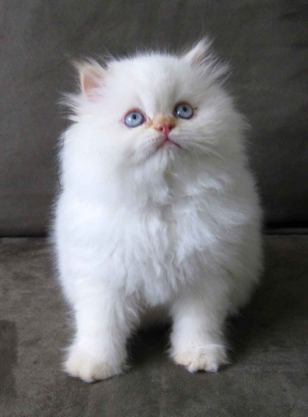 Also Obsessed With Fluffy White Kittens Namely My Eloise Fluffy Kittens White Fluffy Kittens Cute Little Kittens