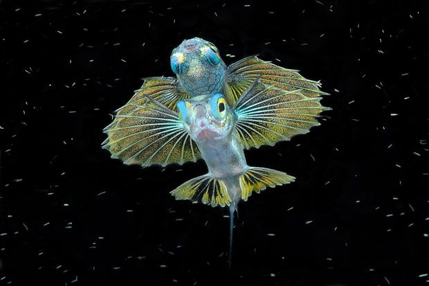 """""""Thanks to Keri"""" by Michele Davino - a juvenile flying fish in Raja Ampat, Indonesia"""