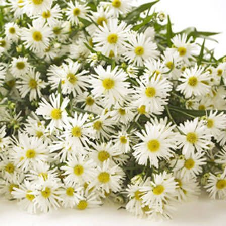 Top 15 Most Beautiful Aster Flowers Aster Flower Flower Identification Very Beautiful Flowers