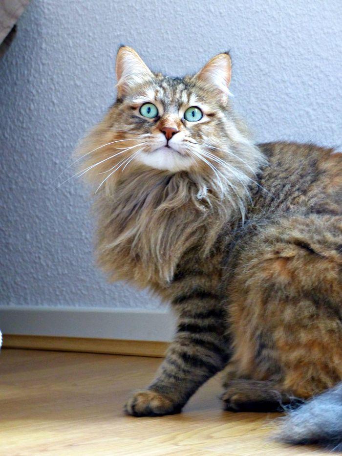 Hayden On Yummypets Com Cat Animal Norvegian Pet Cute