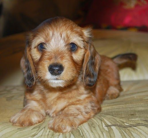 Lady J S Doxies Escondido Ca Dachshund Puppies For Sale