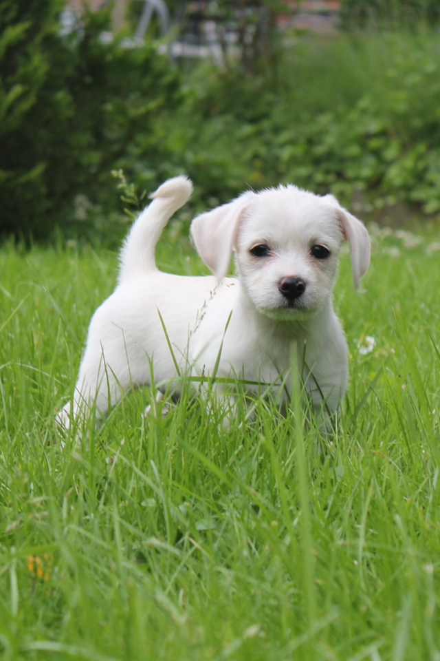 Cino Chihuahua/Malteser | Pawshake