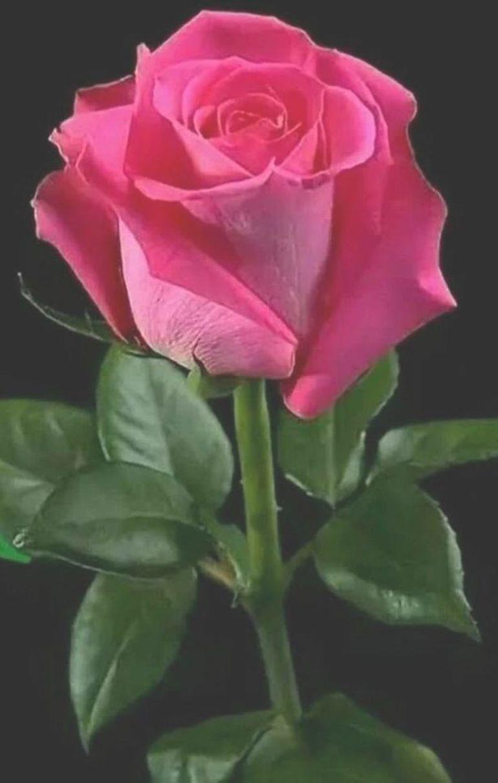 25+ Rose gang info