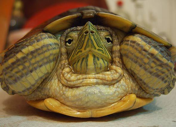 how to keep a pet tortoise