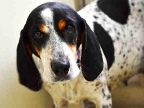 Adopt Mason On Bluetick Coonhound Hound Dog Dogs