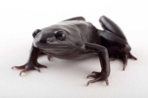 Ranita hocicuda negra (Nelsonophryne aterrima)