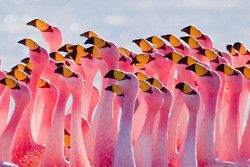Flamingos Partying by szeke on Flickr.