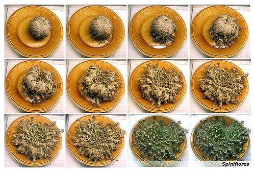 34 Ideias De Rosa De Jericó Plantas Flores Cachecol De Flores De Crochê