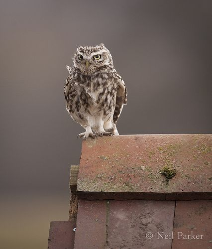 Little owl on red roof