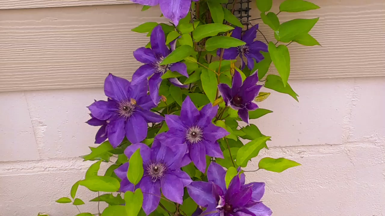 Clematis Pflanzen Video Sold On Amazon Amazon Clematis Livingwall Trellis