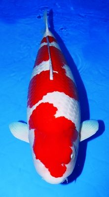 Kohaku koi champion google search koi pinterest for Koi kohaku japanese