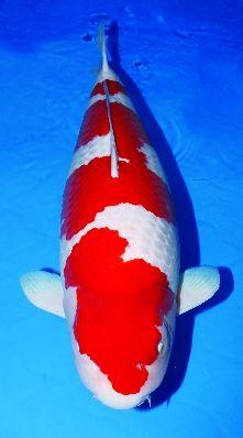 Kohaku Koi Champion Google Search Ikan