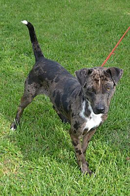 Goodlettsville, TN - Catahoula Leopard Dog/Shepherd (Unknown Type) Mix. Meet Kona, a dog for adoption. http://www.adoptapet.com/pet/15401057-goodlettsville-tennessee-catahoula-leopard-dog-mix