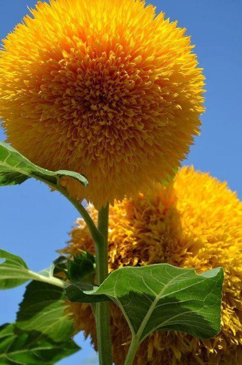 Teddy Bear Sunflowers A Cuddly Giant Flower Planting Flowers Outdoor Gardens Beautiful Flowers