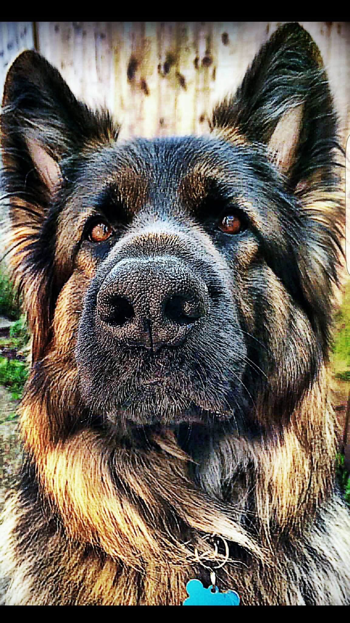 Pin By Rosi Bertelsbeck On Hund With Images Belgian Shepherd Dogs Shepherd Dog