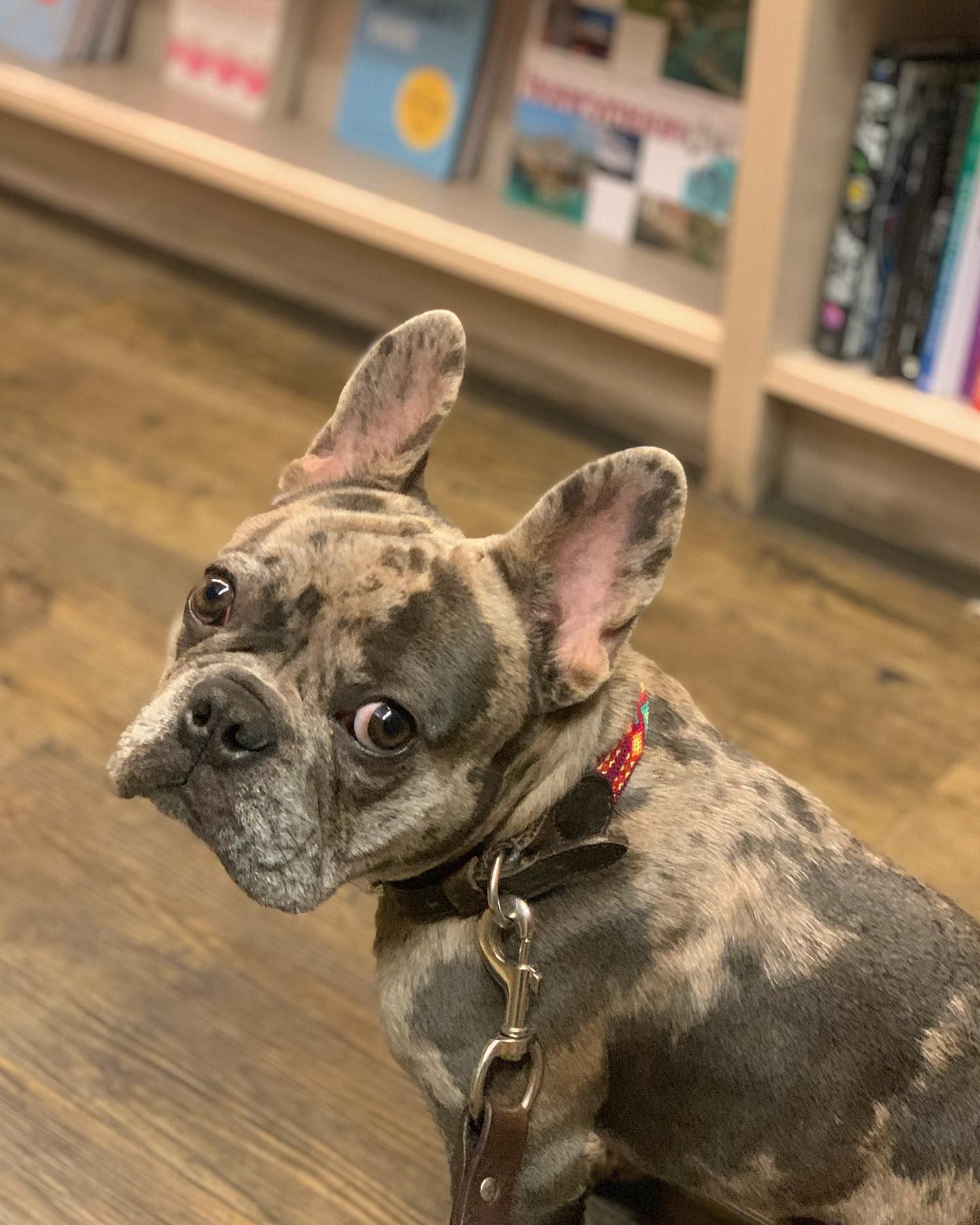 When the humans are all fired up about their new year resolutions, so we end up at a bookstore instead of a park... 📚 • • • • • • • • #frenchbulldog #frenchiesofinstagram #frenchie #puppies #puppiesofinstagram #puppylove #ziggy = ( #📷 @ziggythefrenchbully )