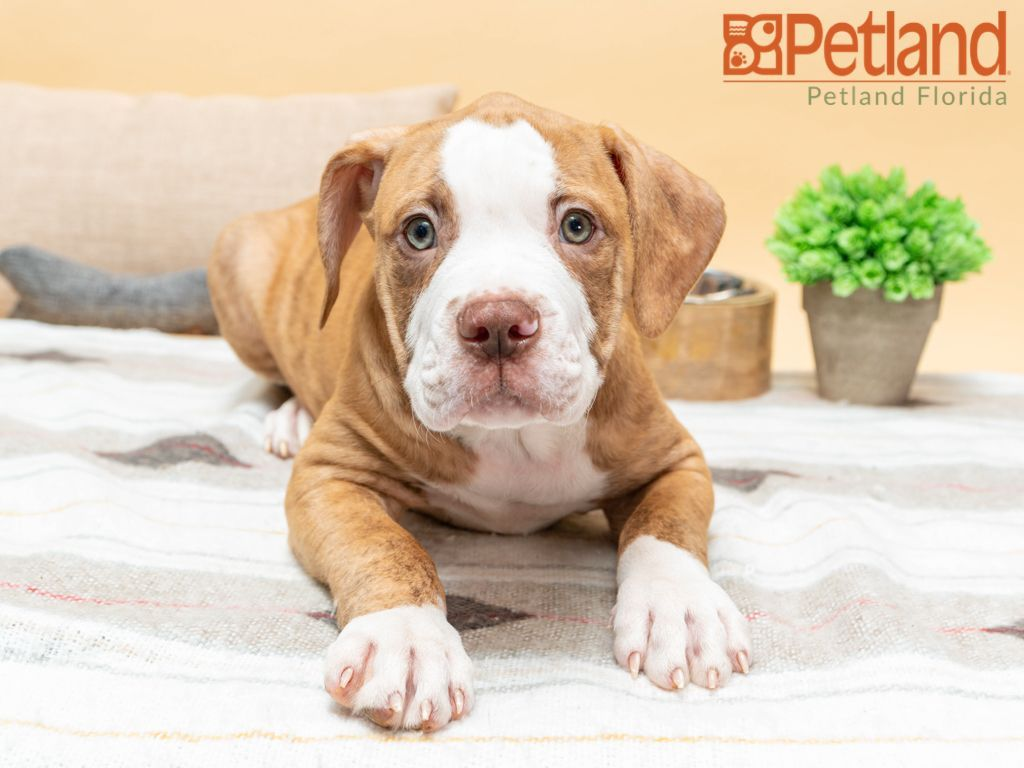 Pitbull Puppies For Sale Augusta Ga References