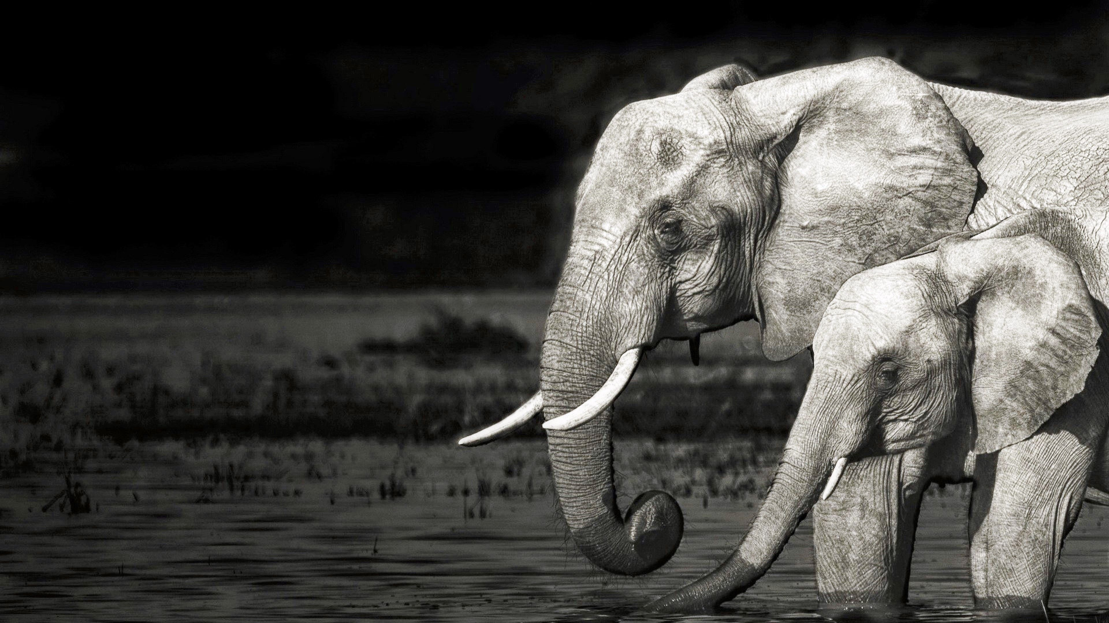 4k Black And White Elephant Elephant Black And White Elephant