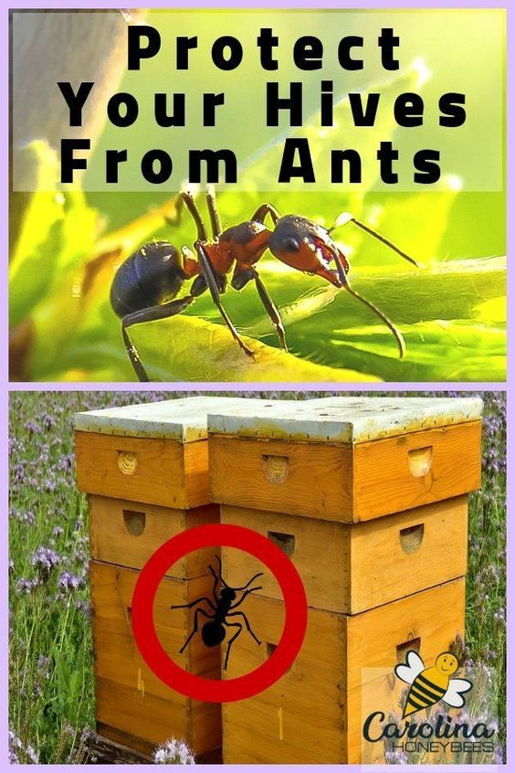 Ants in Beehives - How to Keep Them Out | Backyard bee ...