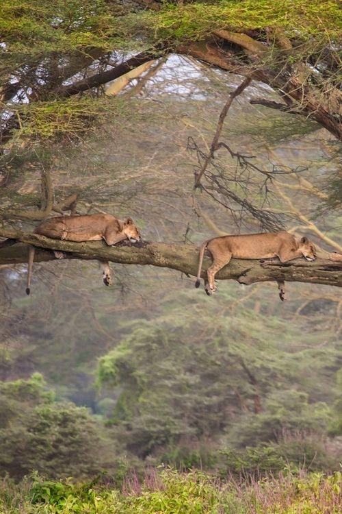 Lions Sleeping In Tree Animals Wild Animals African Animals