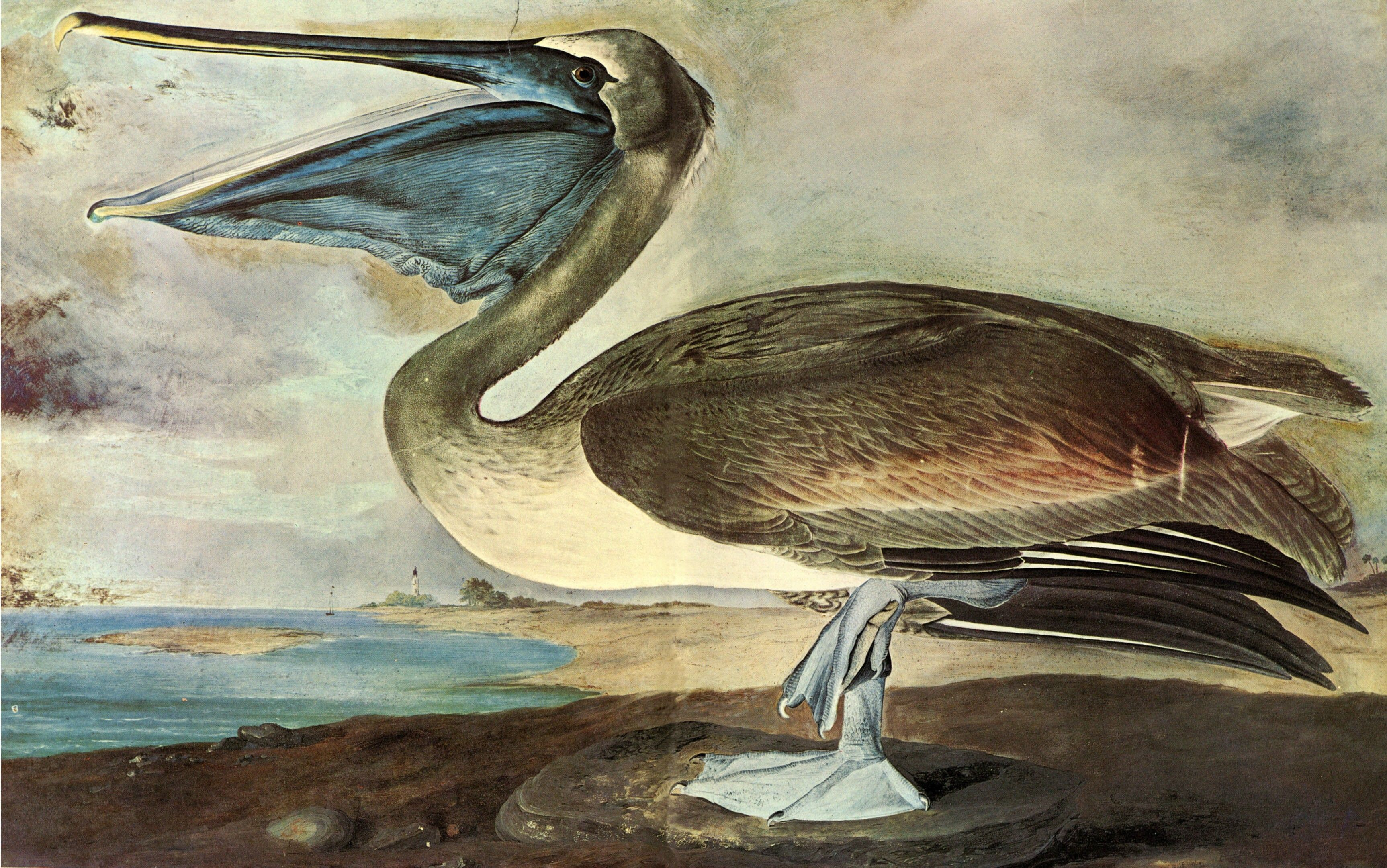 John James Audubon Brown Pelican Watercolor C 1827 1839