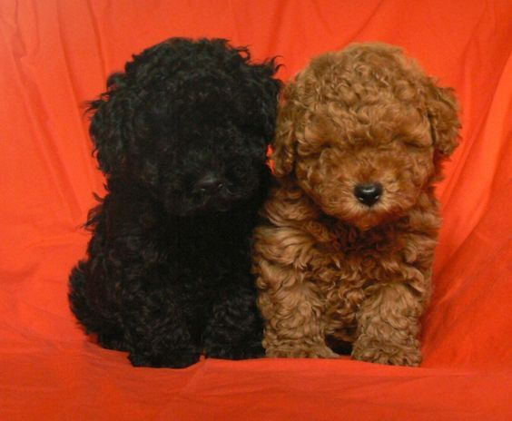 A Double Dose Of Cute What Names Would You Choose Poodle