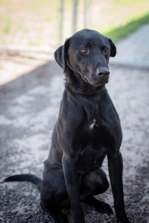Adopt ROCKY on Retriever dog, Labrador retriever dog