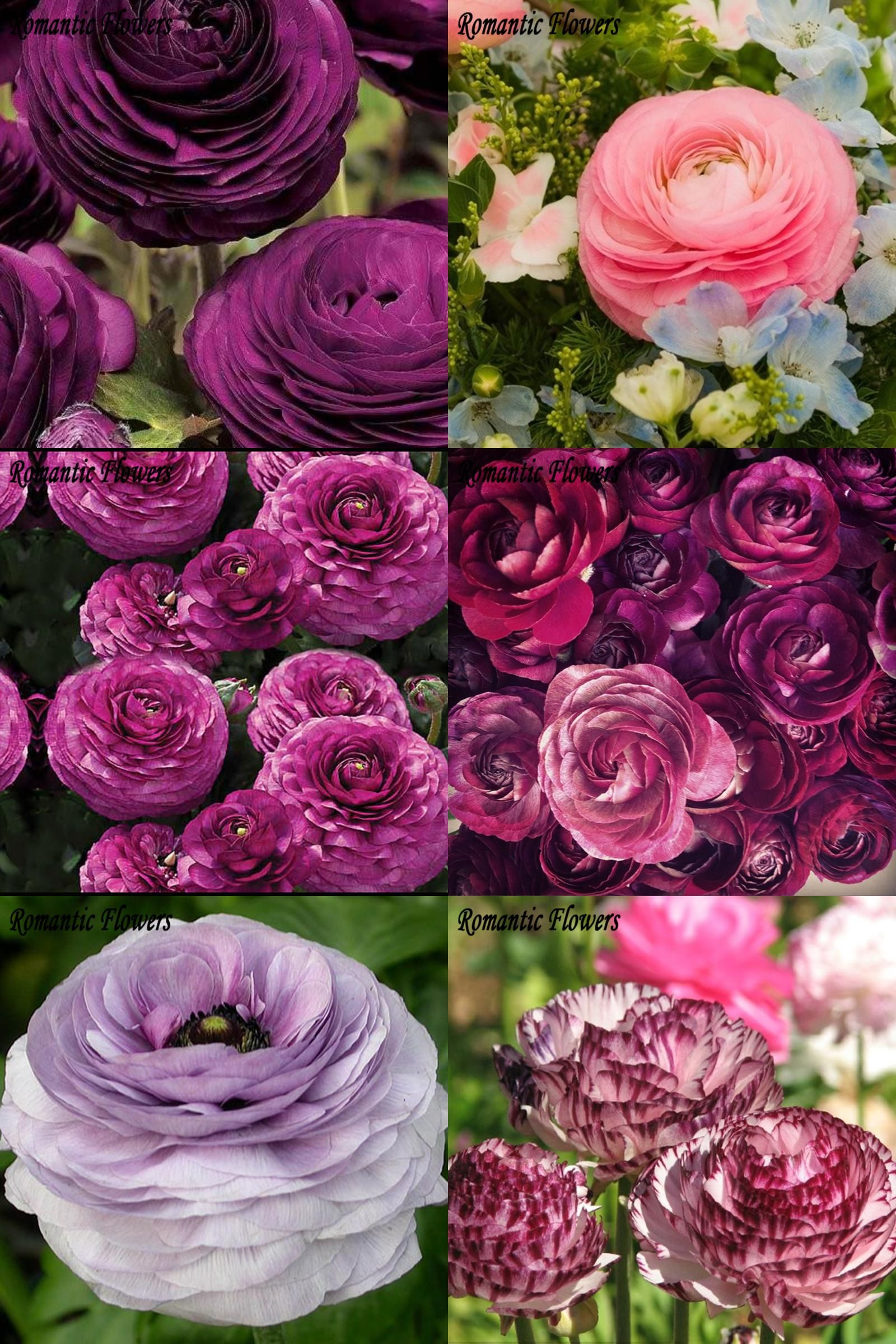 Visit To Buy 100pcs Rouge Ranunculus Flower Seeds Home Diy Persian Buttercup Plant Seeds Flower Bulbs Free Shipping Adv Bulb Flowers Flower Seeds Plants