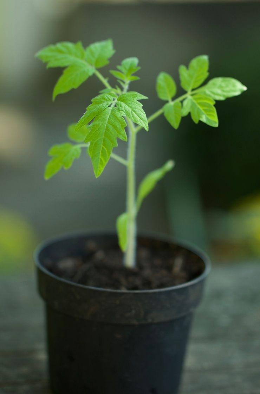 Tomaten aussäen #tomatenpflanzen