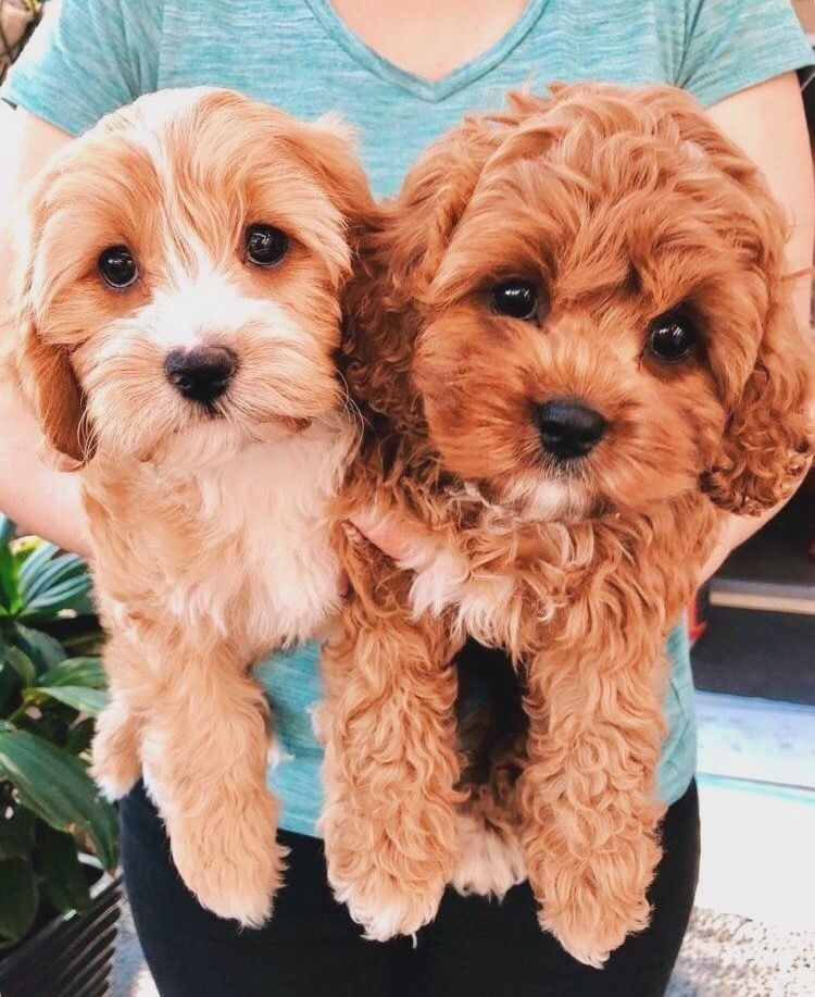 Pin by Tiffy ️ on puppies Cavapoo puppies, Cute baby