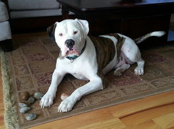 Jojo American Bulldog And His Rock Collection Schone Hunde Susse