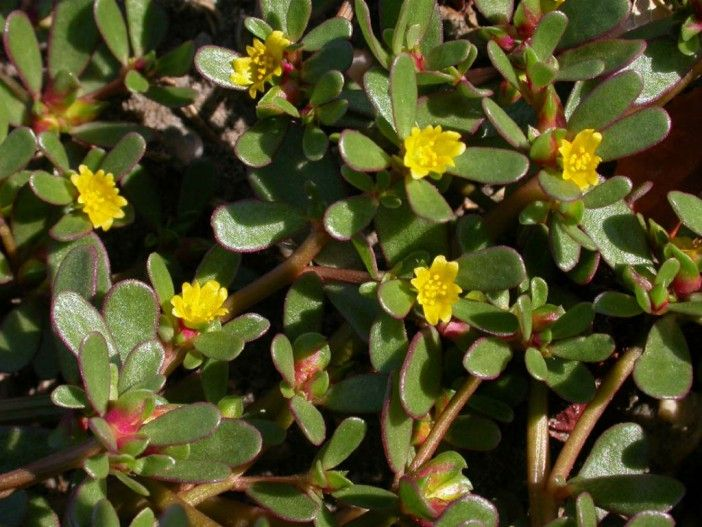 Portulaca Oleracea Common Purslane World Of Succulents Portulaca Flowers Portulaca Oleracea Purslane Plant