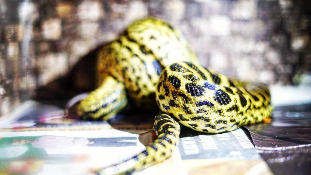 Eating Machine Yellowanaconda Big Snake Of Insta