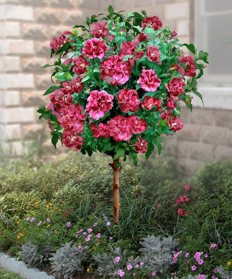 Double Red Hardy Hibiscus Tree Want This Near The House With