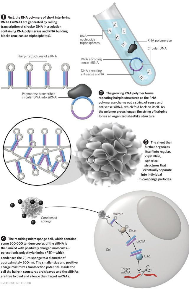 Microscopic sponges made entirely of RNA enable efficient gene ...